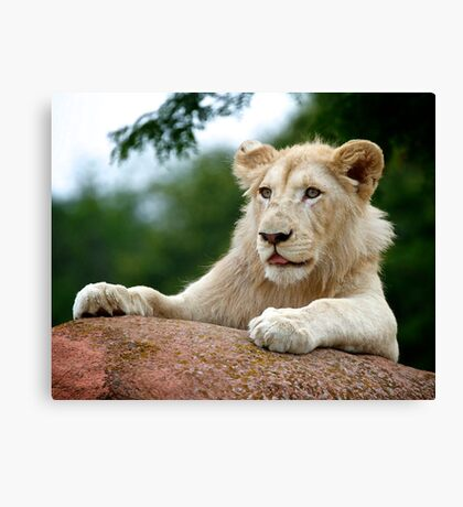 Lion Cub Dry Brush Canvas Print