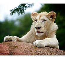 Lion Cub Dry Brush Photographic Print