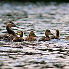 A Family of Ducks by PrecisionImages