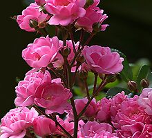 Hundred odd year old rose for Kala............! by Roy  Massicks