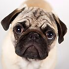 Pug Puppy Dry Brush Portrait by PrecisionImages