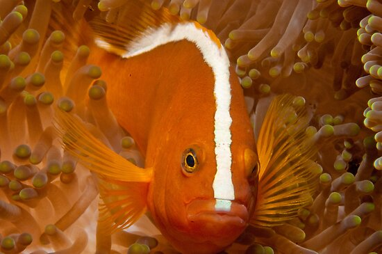 Orange Anemonefish, North Sulawesi, Indonesia by Erik Schlogl