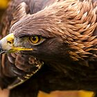 Golden Eagle 3 by Sue Ratcliffe