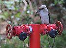 Kookaburra on Red by yolanda