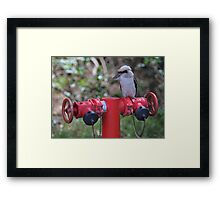 Kookaburra on Red Framed Print