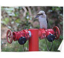 Kookaburra on Red Poster