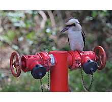 Kookaburra on Red Photographic Print