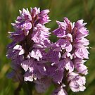 Wild Orchid by kalaryder