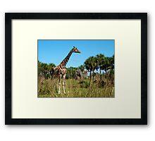 A Giraffe while on Safari Framed Print