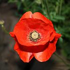 Lone Poppy by Lynne69