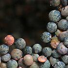 lentilles du Puy by yvesrossetti