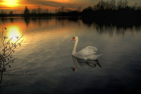 White Swan at Sunset  by larry flewers