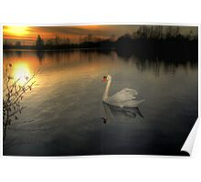 White Swan at Sunset  Poster