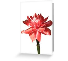 Torch Ginger on White Greeting Card