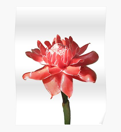 Torch Ginger on White Poster