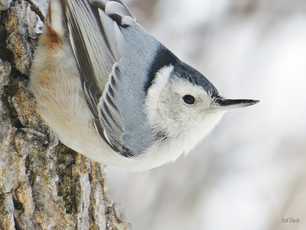Little Nuthatch Points The Way by lorilee