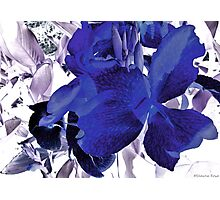 Blue Canna Lily Photographic Print