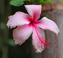 Pink Hibiscus by Sandy1949
