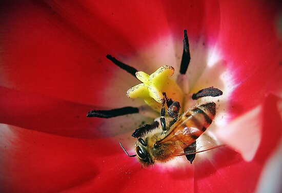 Tulip and Bee by venny