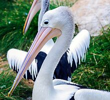 Two Pelicans. by Nick Egglington
