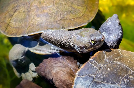 Two Murray Turtles Share An Embrace. by Nick Egglington
