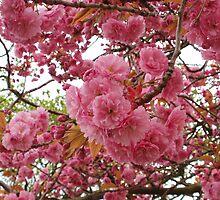 Pink Blossom by KittenPokerUK