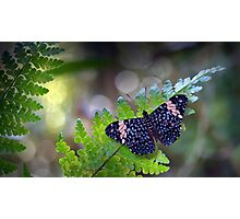 Hamadryas butterfly Photographic Print