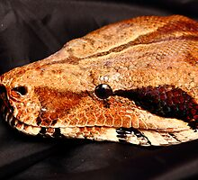 Headshot of Nemesis a big boa constrictor by thermosoflask