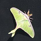 Luna Moth by pateabag