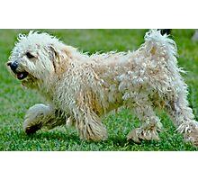 Poodle Photographic Print
