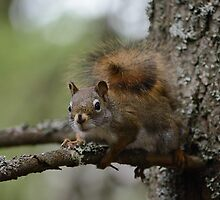 Squirrel in fir tree 1 by themanitou