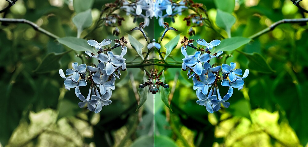 Duality, or a Floral Rorschach Test by linderel