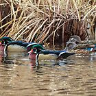 Wood Ducks: Two Pair Beats One Pair by John Williams
