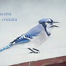 Cyanocitta cristata ~ by Renee Blake