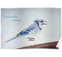Cyanocitta cristata ~ Poster
