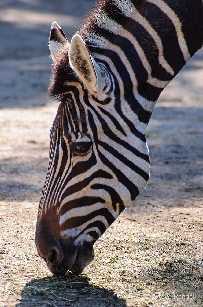 Grazing Zebra by Steve Randall