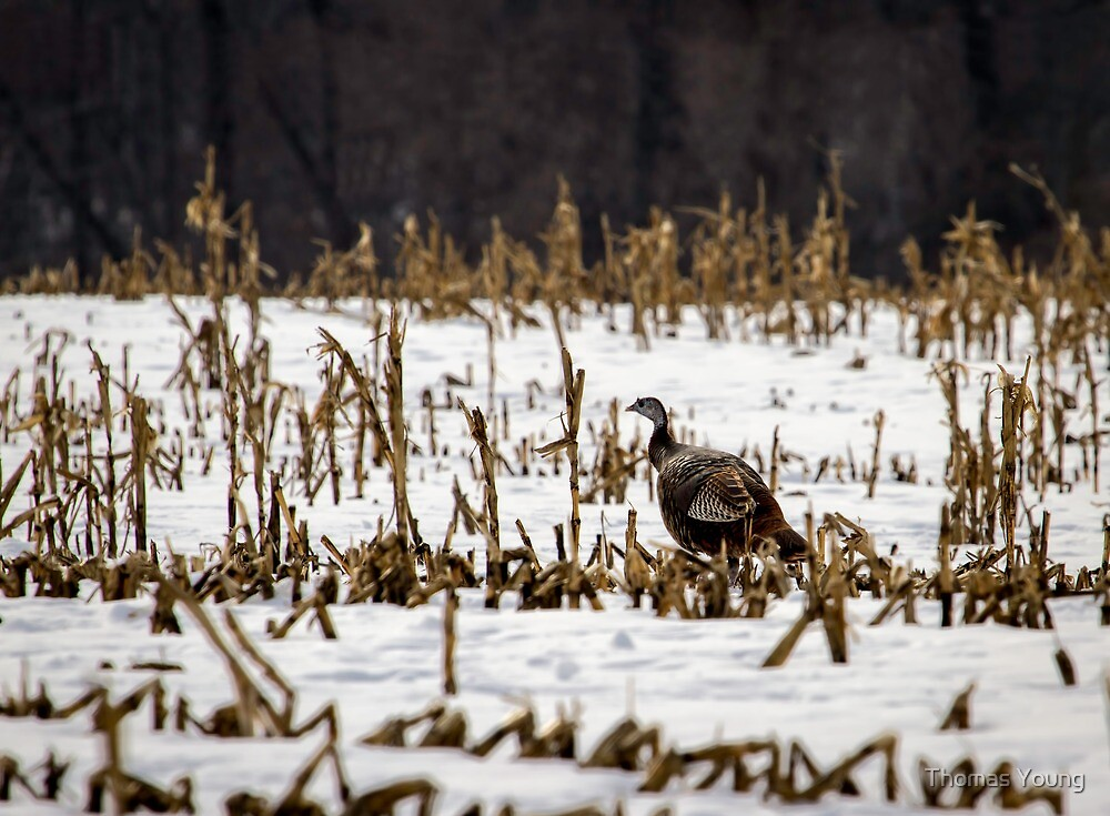 Wild Turkey In The Corn by Thomas Young