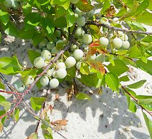 Beach Plum - Prunus maritima - Island Beach State Park NJ by MotherNature