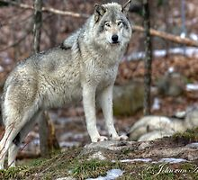 ...the King..the Grey '' or Timber Wolf.... by John44