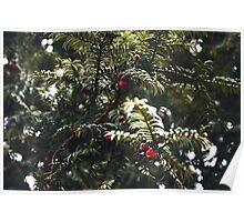 Yew Berries Poster