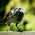 Crow by Margi