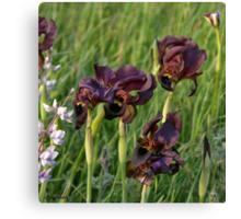 More Irises... Canvas Print