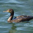 Great Cormorant at Narooma. by shortshooter-Al