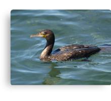 Great Cormorant at Narooma. Canvas Print