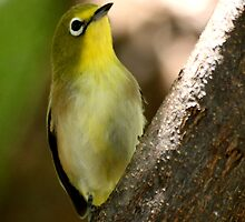 A quiet moment... (Cape White-eye, Zosterops pallidus) by Qnita