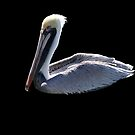 Pelican on the water by William  Boyer
