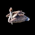 Pelican floating on the water by William  Boyer