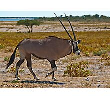 Oryx - Gemsbok Race (Oryx gazella) Photographic Print