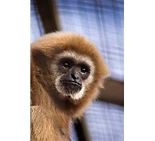 Lar Gibbon Photographic Print