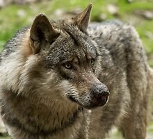 wolf expression by dixi84